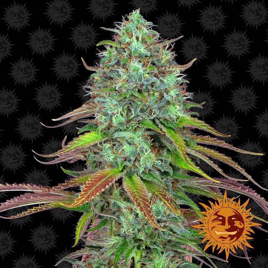 Семена канабиса первый грунт марихуаны