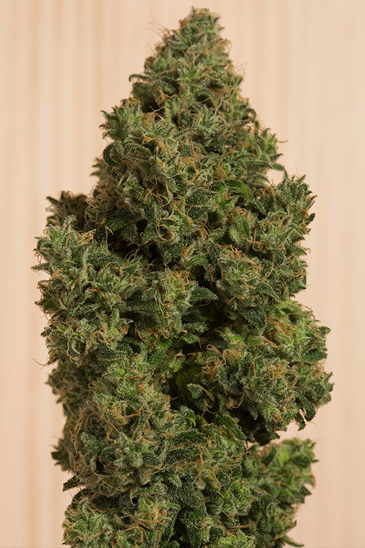 Blue Dream CBD [Feminized] - 3 Seeds
